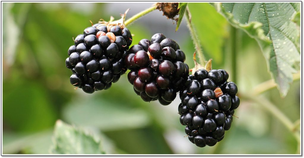Why you should eat more berries blackberries