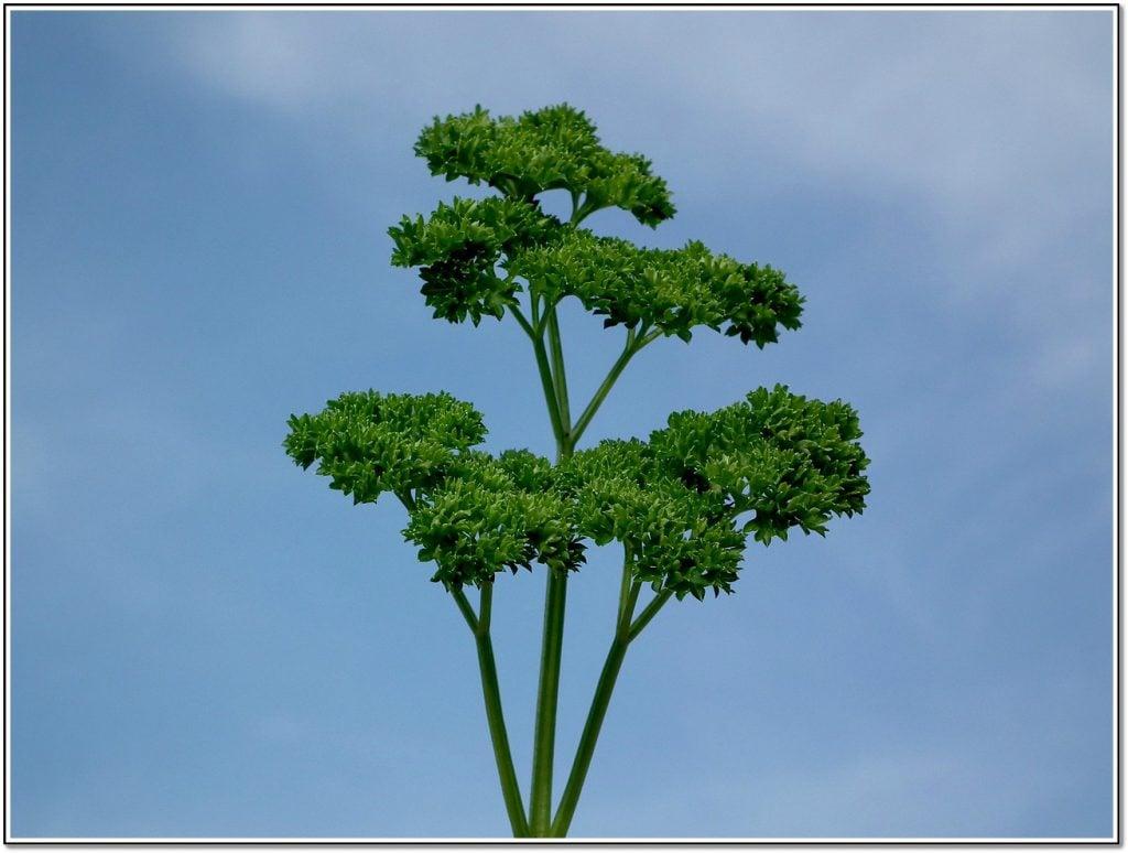 Vegetable Detox Parsley