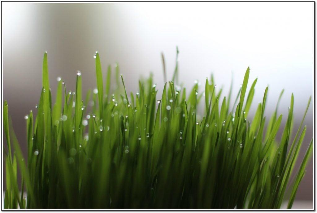 Vegetable Detox Wheatgrass