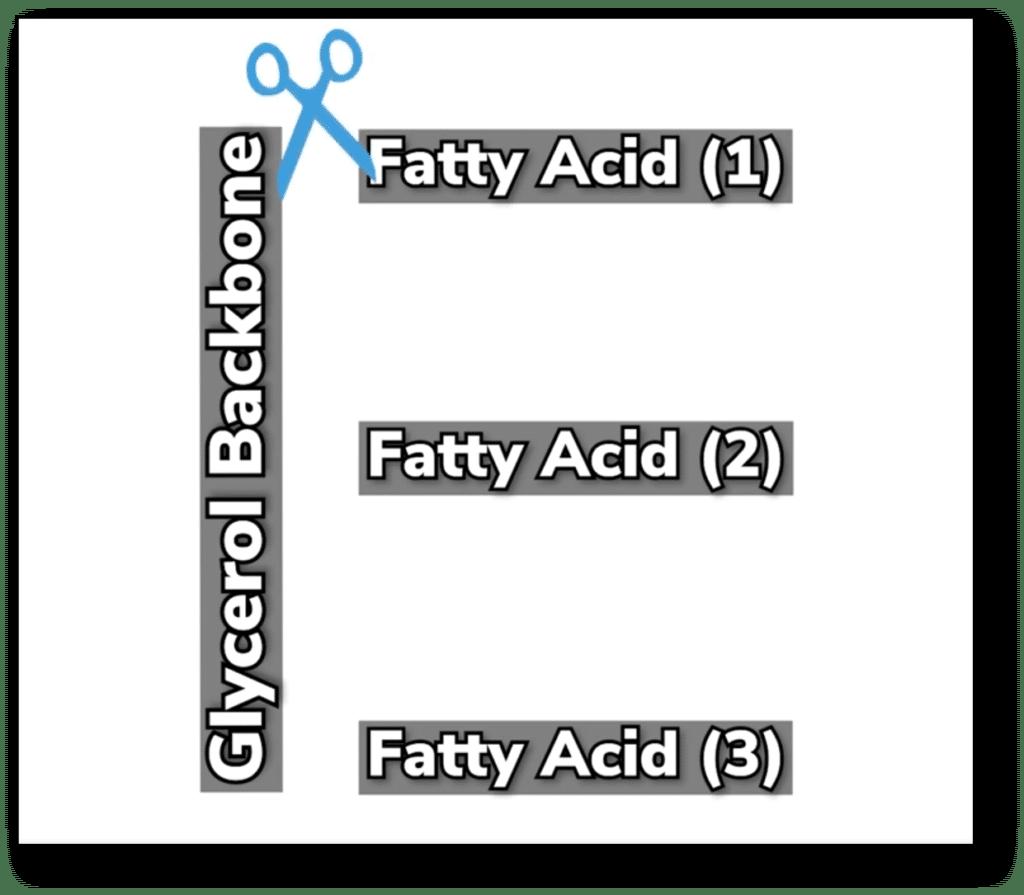 fatty acid break down